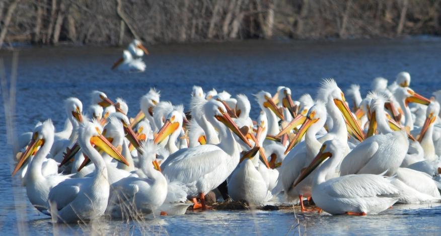 Pelicans closer enlarged 8572