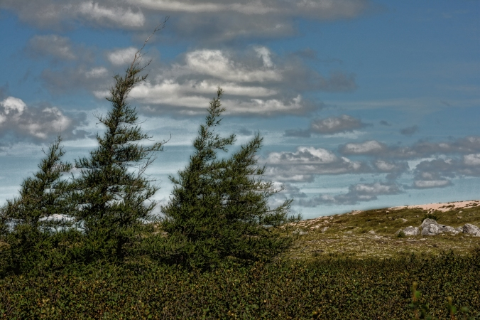 Black Spruce on the Barrens topaz .9801.jpg