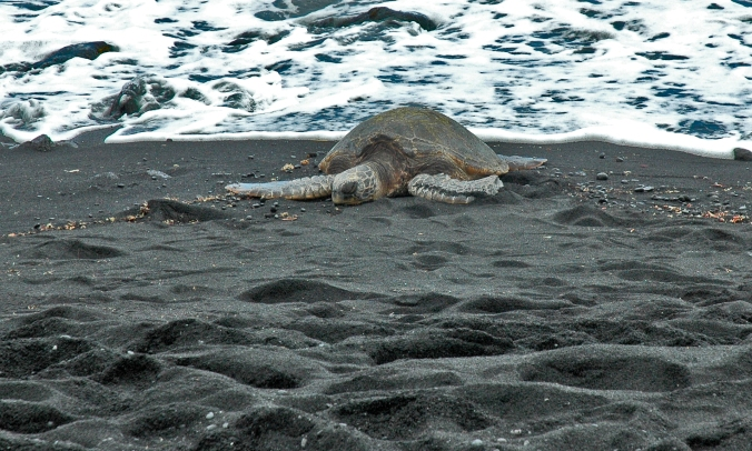 Green Turtle resting on a black sand beach copy.jpg