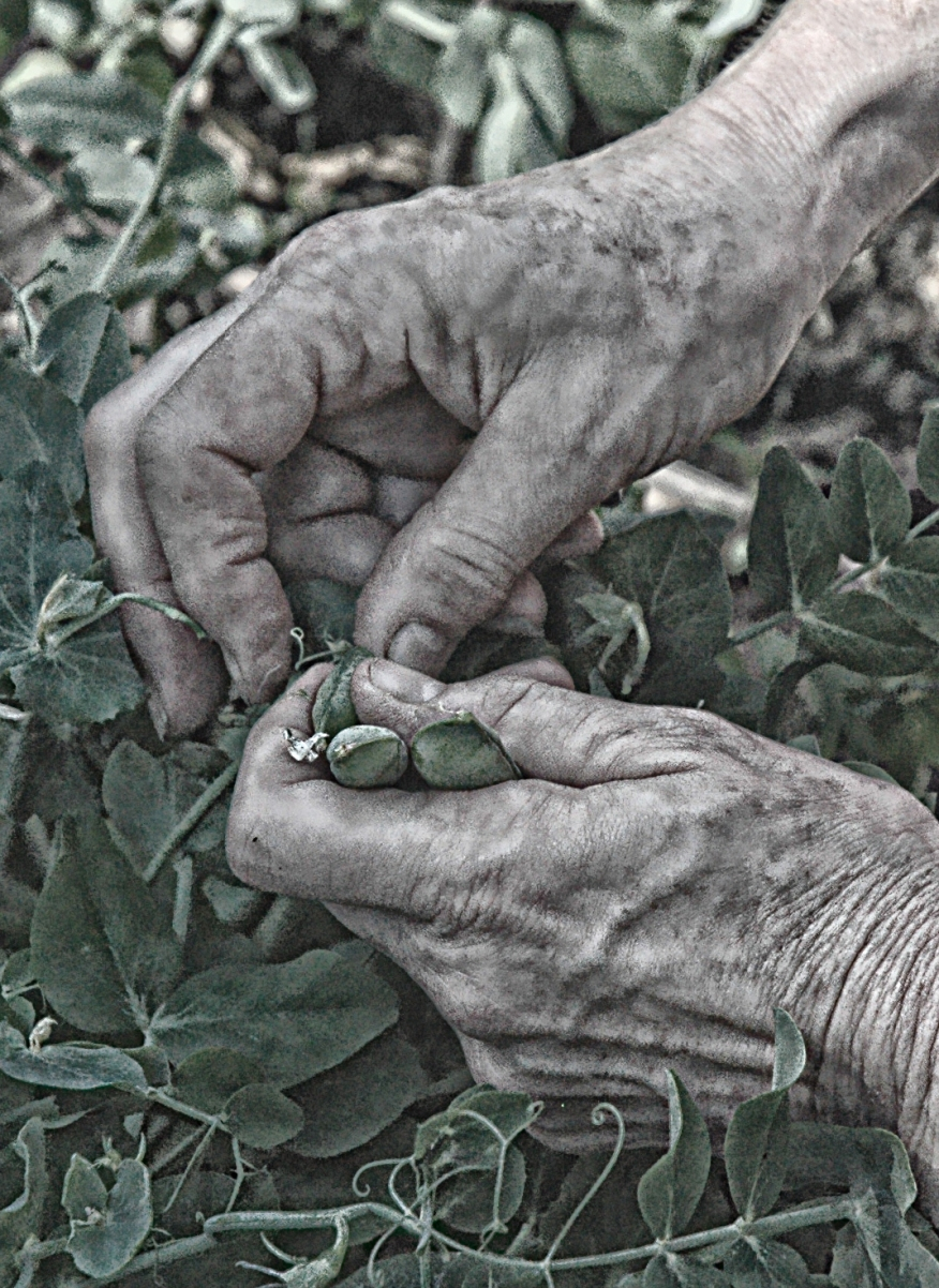 old-hands-picking-peas