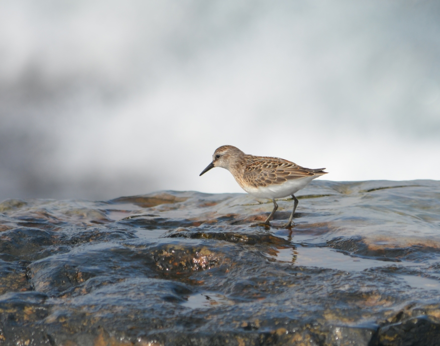 semipalmated-sandpiper-sharp-9734