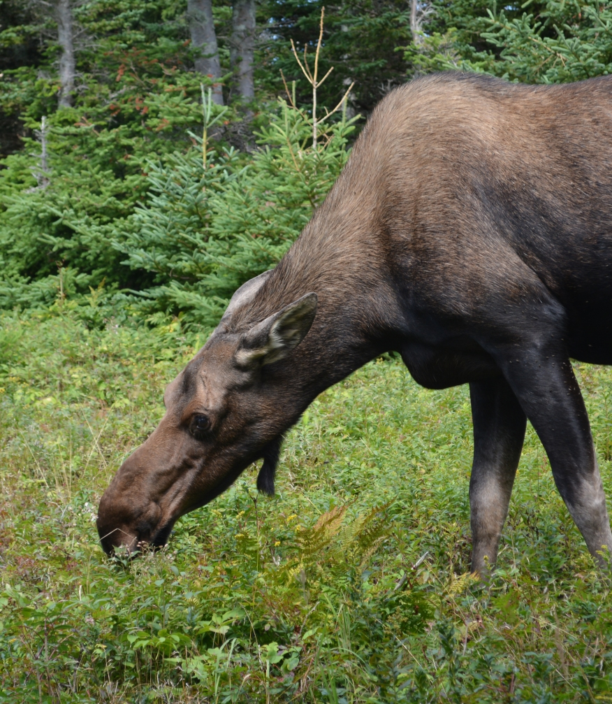 Moose closeup 1446.jpg