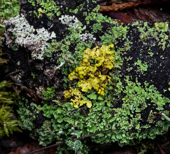 Lichens of Many colours